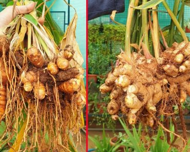 HARVESTED A LOT OF ORGANICALLY GROWN GINGER AND TURMERIC