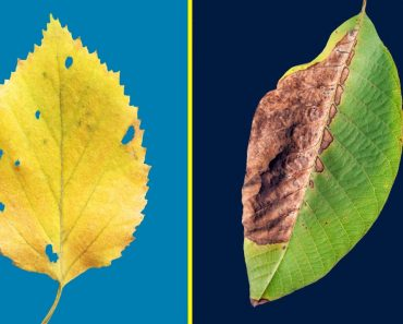 TOP 10 REASONS FOR LEAF YELLOWING AND LEAF BURNING / BROWNING WITH TREATMENT ??