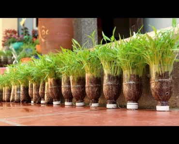 How to grow Water Spinach from seeds in plastic bottles, gardening at home