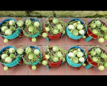 Amazing Idea | How to Grow Honeydew Melon at Home Easy for Beginners