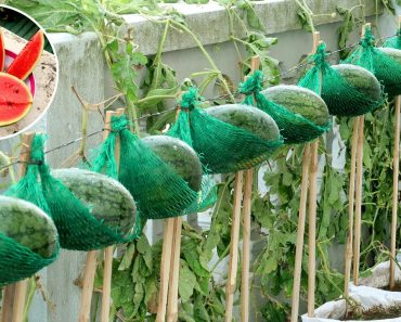 Amazing Idea | How To Grow Watermelon at Home Easy for Beginners