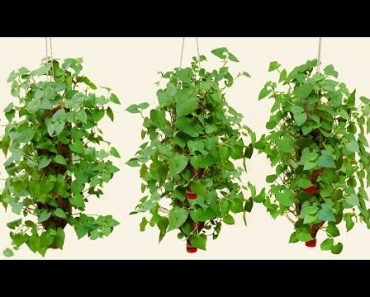 Amazing Idea | How to grow Fish mint (Houttuynia cordata) in plastic bottles