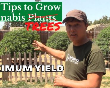 Best Tips to Grow Giant Cannabis Plants - Feeding & Seed Selection