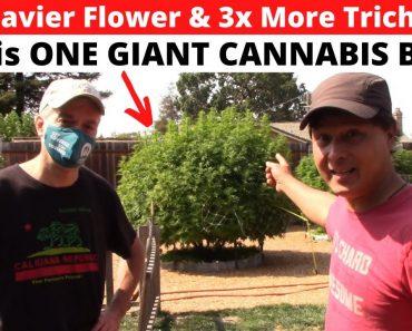 Biggest & Thickest Buds on Cannabis using This Organic Hardener & Sugars