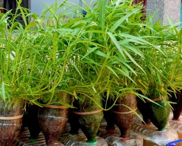 Easy Way To Grow Kangkong in Plastic Bottles at Home for Beginners