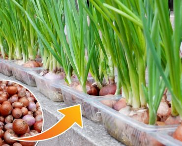 Growing Onions Without Soil, Good Tips Worth Learning | Cheap & Easy Ways