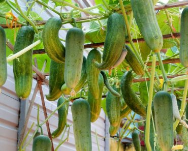 How to grow Cucumbers at home with large, delicious and abundant fruits
