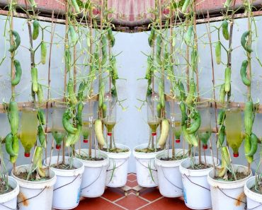 Amazing Idea | Growing Cucumbers at Home Produces Many Fruits | Automatic Watering