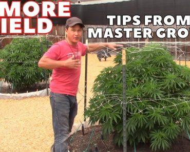Master Grower Reveals Secrets to Quadruple Cannabis Yield