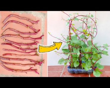 How to grow Malabar Spinach from Supermarket, grow Malabar Spinach from cuttings