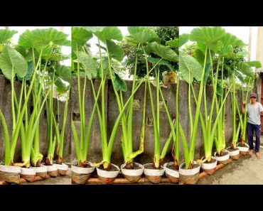 Growing Super Giant Alocasia Odora at Home, Easy for Beginners | TEO Garden
