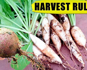 10 HACKS / TIPS: WHEN TO HARVEST VEGETABLES (Root Crops) | Vegetable Gardening in Pots