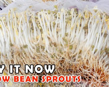 Try it now | How to grow Bean Sprouts in the fastest and easiest